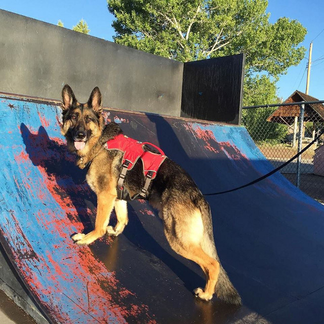 German Shepherd Skater Dog