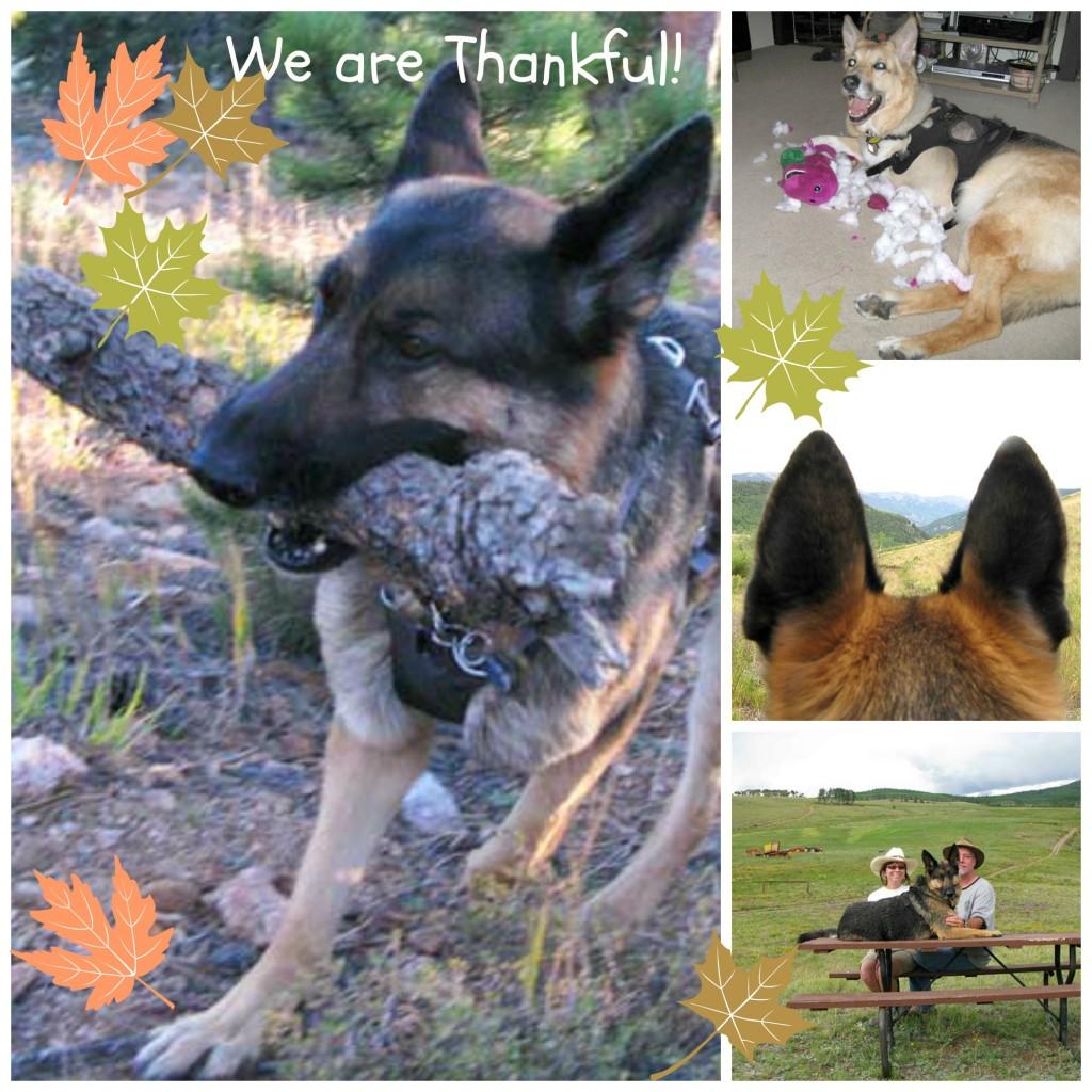 Thankful Tripawd Dogs