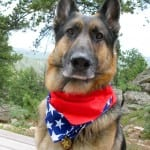 Tripawd German Shepherd