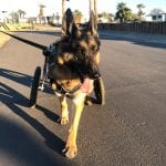 My New Tripawd Wheelchair Walking Routine