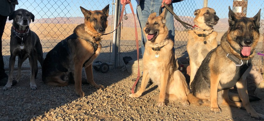 Three Legged Oaktown Pack German Shepherds
