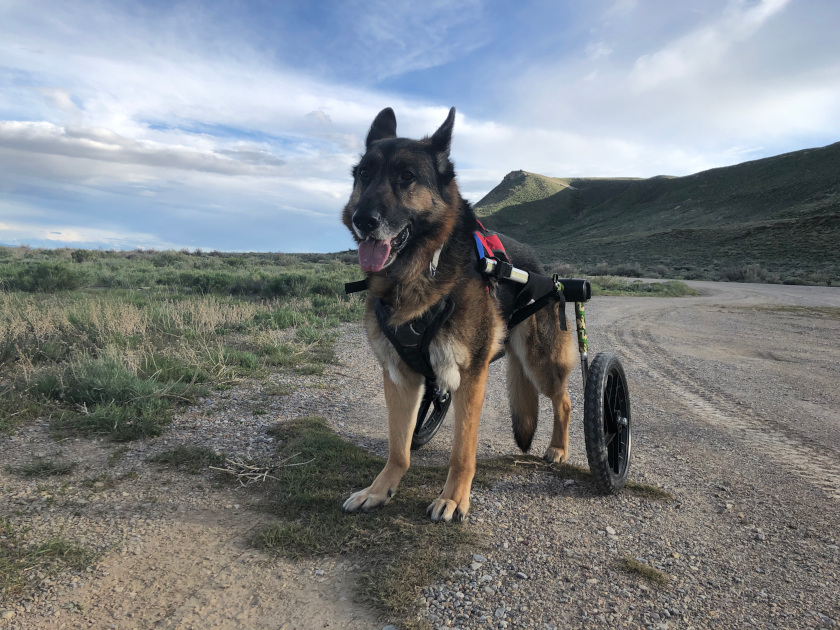 Tripawd Wheelchair Walk