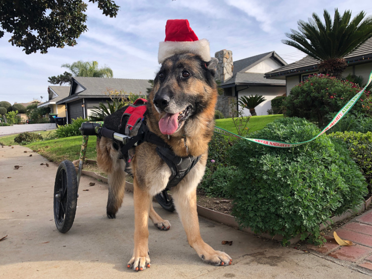 Tripawd with wheelchair