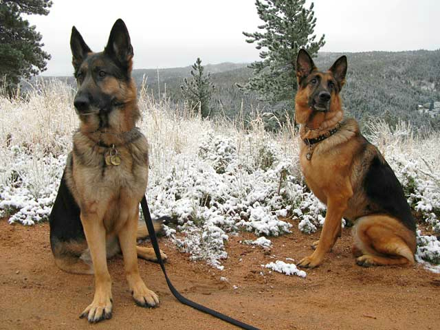 three Legged German Shepherd Dogs