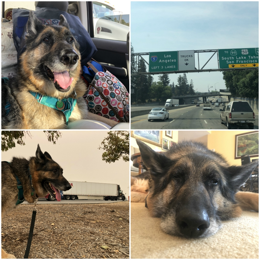 Tripawd Wyatt hits the road